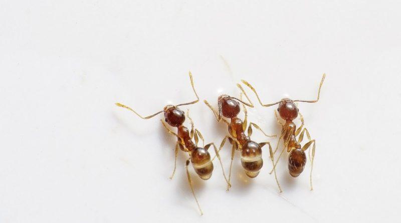 Jak se zbavit mravenců v kuchyni i v obýváku
