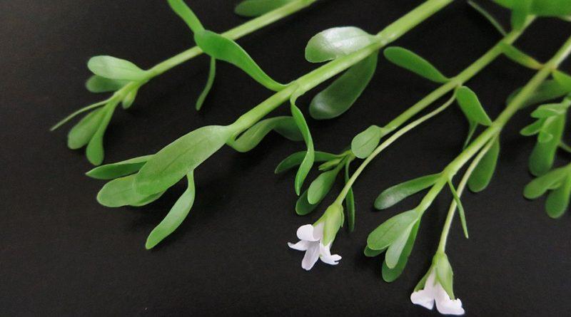 Pěstujeme bakopu, bohatě kvetoucí letničku